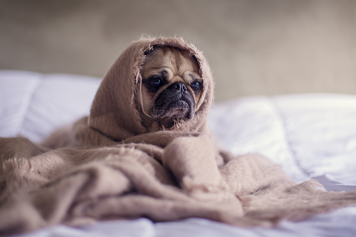 pug wrapped in a blanket at a pet-friendly apartment