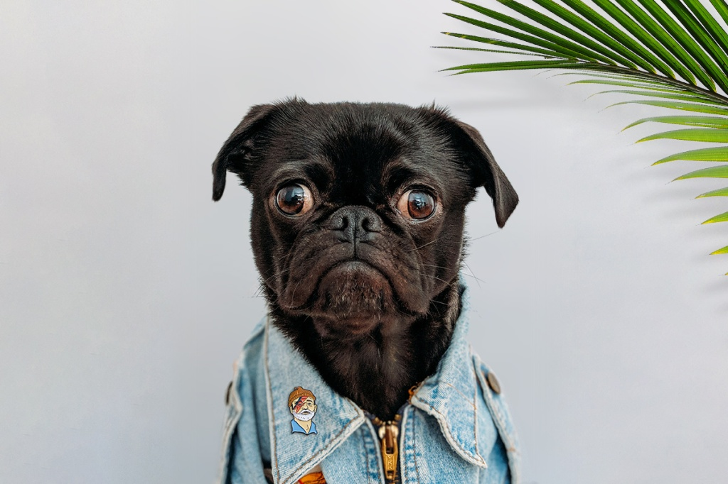 Emotional support animal wearing shirt with cute pin